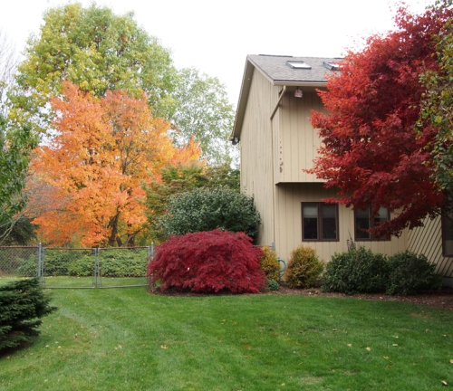 Red Maple - Japanese maples - south east corner of house