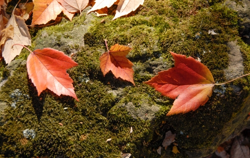 Red maple leaves on moss covered rock