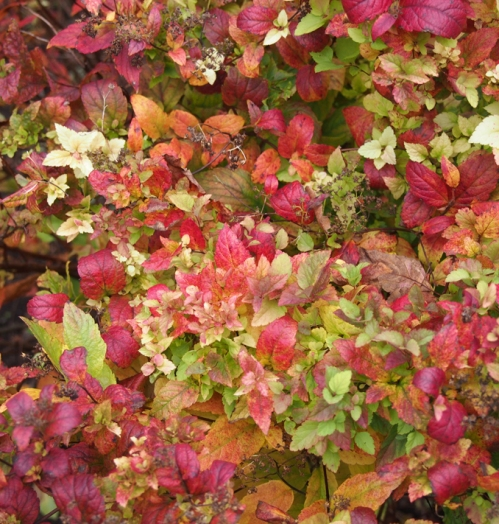 Multi-colored Spirea leaves