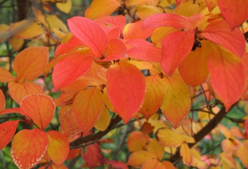 The Stewartia tree shows off its beautiful orange and yellow leaves.