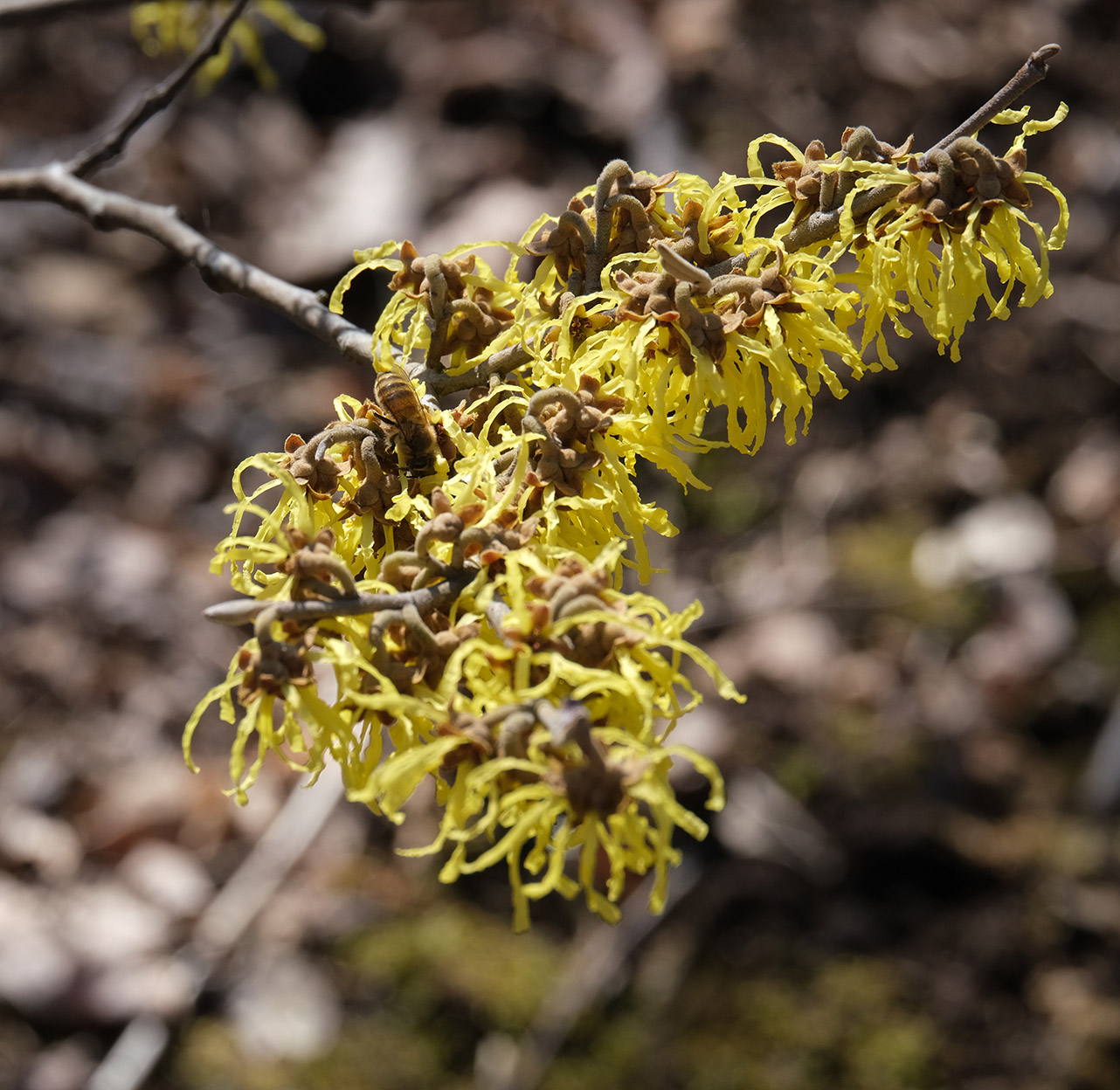 6157 - Honeybee on witch hazel - lr