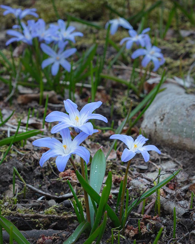 Blue Chionodoxa 4-6-21b - lr