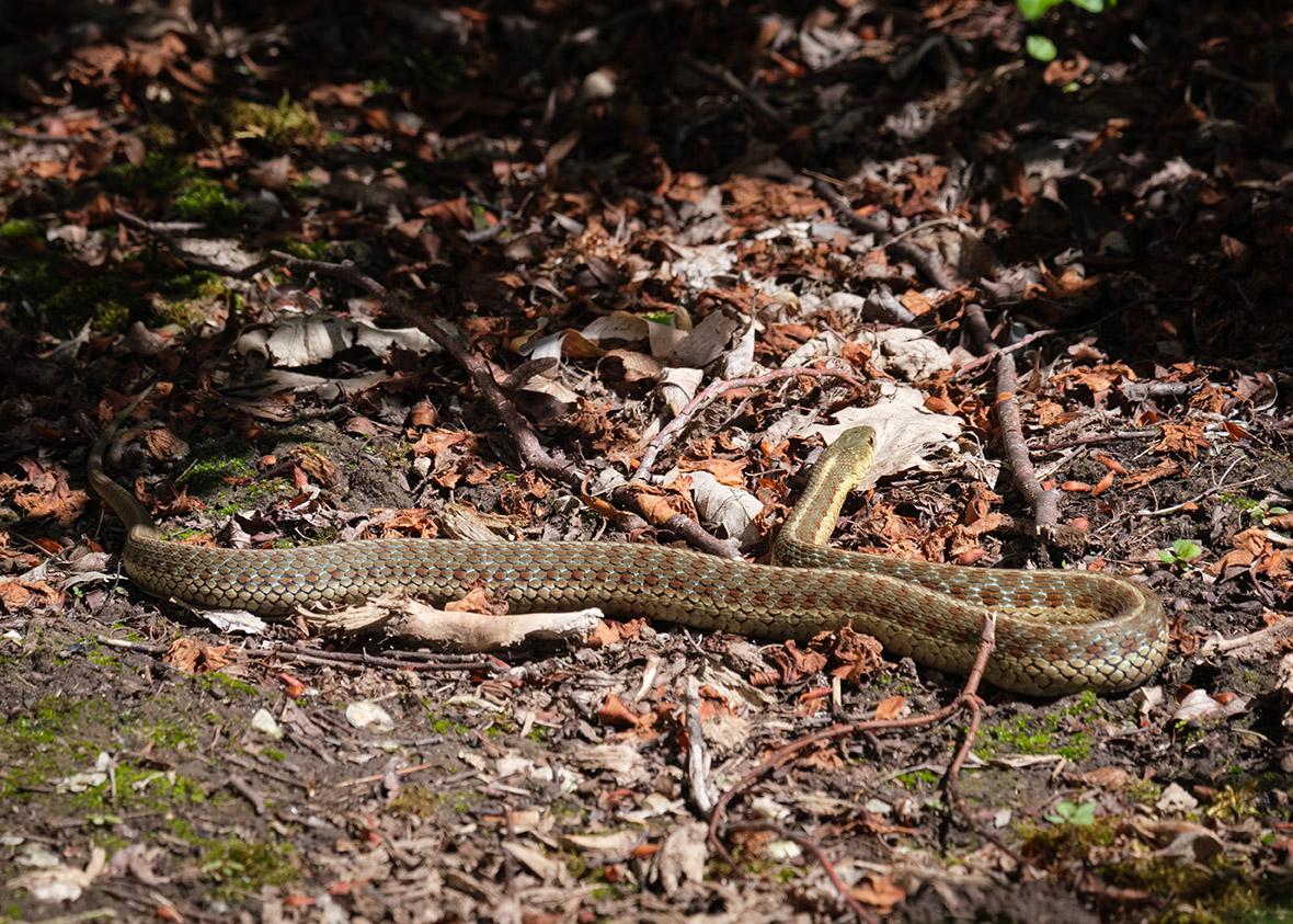 6691 - Colorful Snake on ground - lr