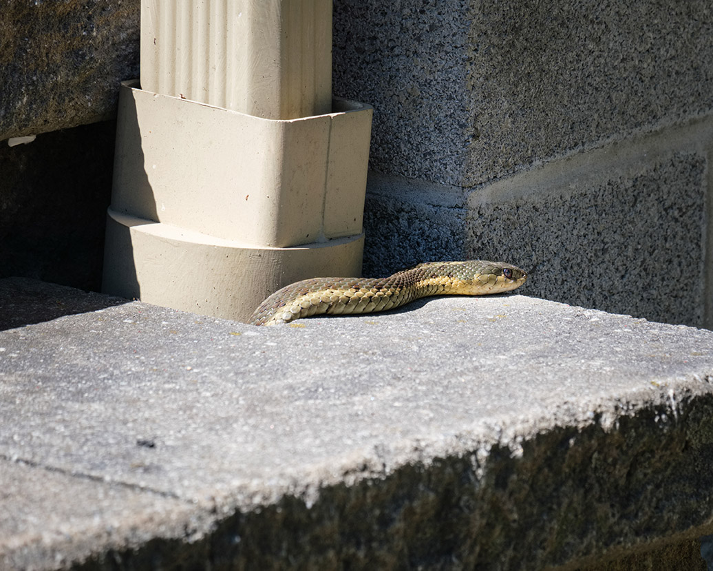 6743 - Snake coming out at down spout - lr