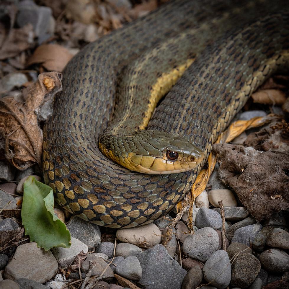 Backyard garter snake 7-16-21 - lr