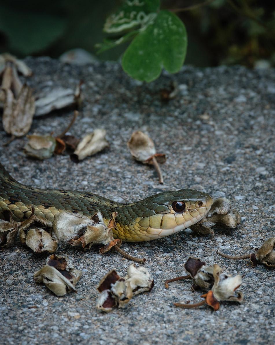 Backyard garter snake 7-19-21 - lr