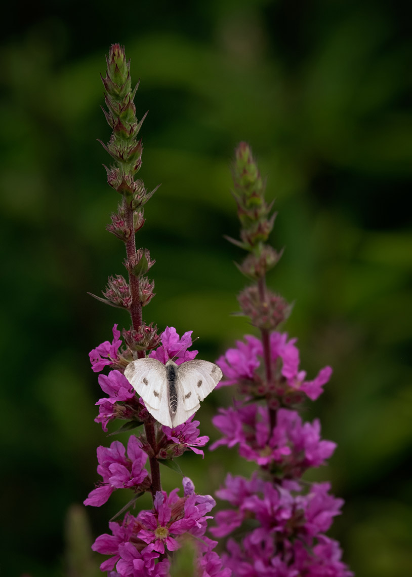 Cabbage butterfly on lythrum 7-16-21 - lr