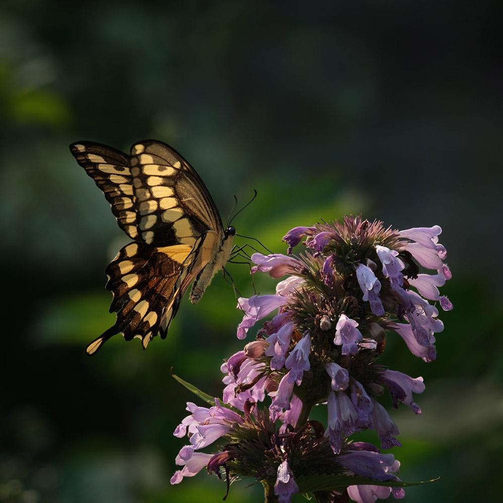 Giant swallowtail on agastache 7-25-21 - lr