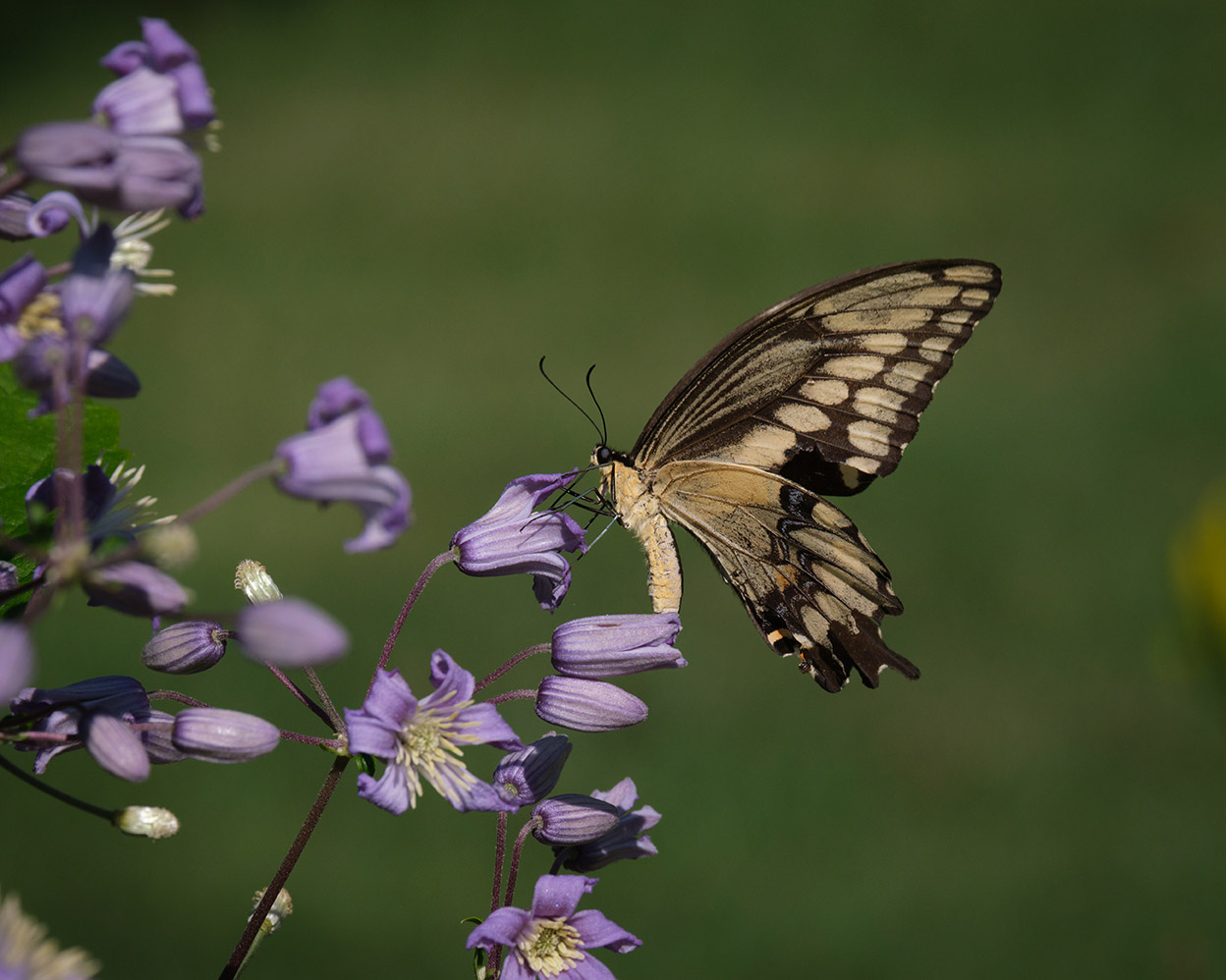 Giant swallowtail on clematis 8-19-21 - lr