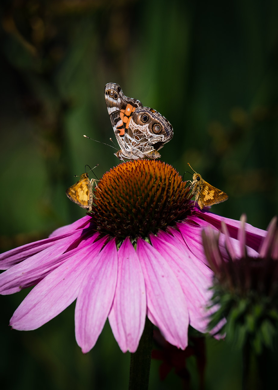 Painted lady and skiippers on coneflower 8-3-21 - lr