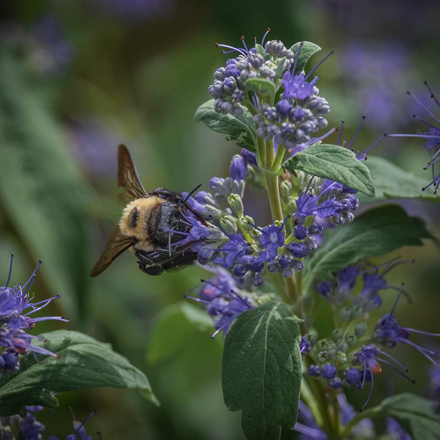 Carpenter bee on caryopteris 9-2-21 - lr
