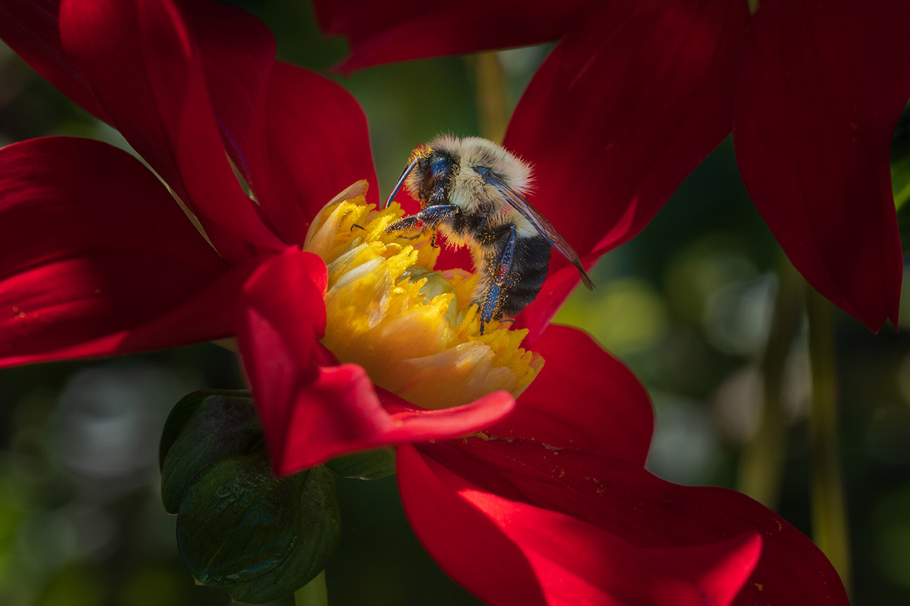 Bumblebee on red dahlia 9-19-21 - lr