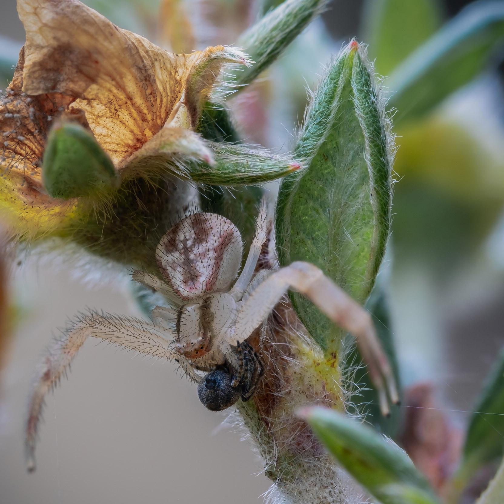 Crab spider with prey stack 10-6-21 - lr