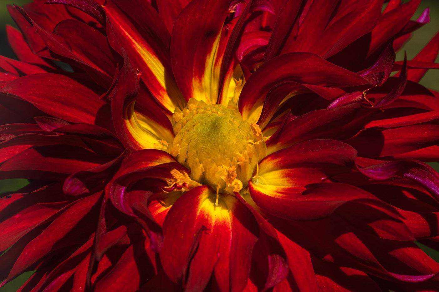 Crimson and yellow dahlia 9-19-21 - lr