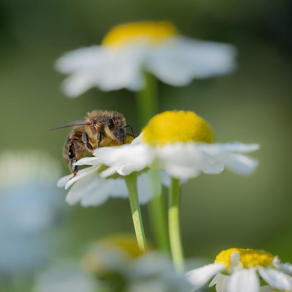 Daisy with honeybee 10-14-21-2 - lr