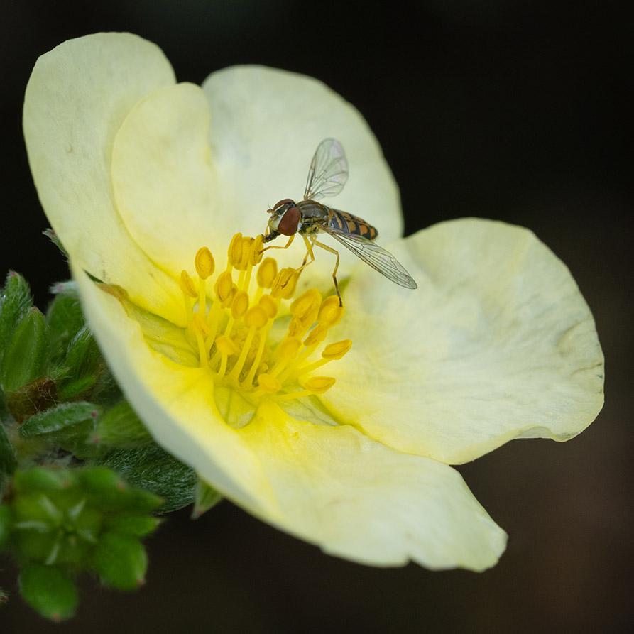 Hoverfly on potentilla flower 9-23-21 - lr